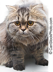 grey persian kitten sitting on isolated white