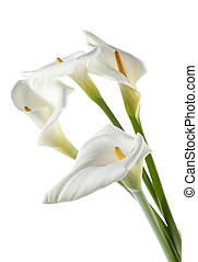 four white calla lilies - Four white calla lilies on white...
