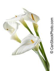 four white calla lilies - Four white calla lilies on white...