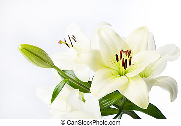 Full White Lily Stem and Flowers - A white lily with a few...