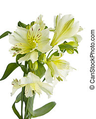 genus lilium - Bouquet of Genus Lilium flower against white...