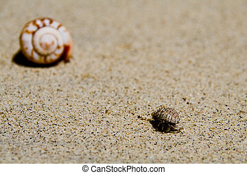 Hermit Crab - a common hermit crab on the white samoan beach