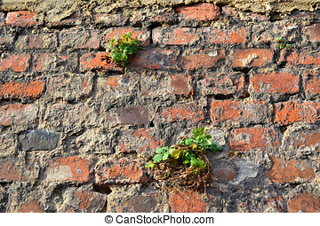 a plant grows and survives on a wall of bricks