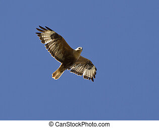 Long-legged Buzzard soaring in a sky Kalmykia.. -...