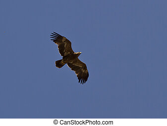 Steppe eagle soaring in the sky.