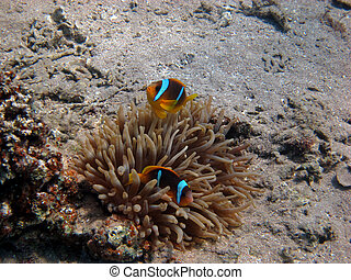 nemo fish - two red sea anemone fish on the sea floor in the...