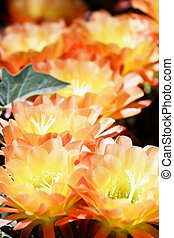 Vibrant Torch Cactus Flowering - Torch cactus in bloom is a...