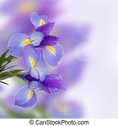 irises flowers - blue irises fresh spring flowers with copy...