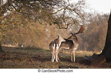 Fallow deer buck and doe in tender moment in forest...