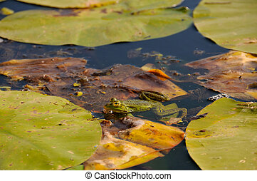 Frog in the water - Frog surrounding with lotus leaves