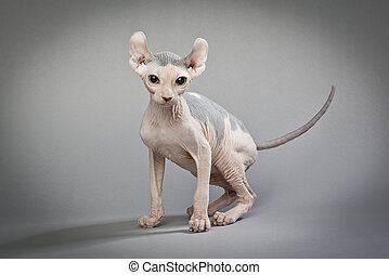 hairless cat on grey - A hairless cat standing on a white...