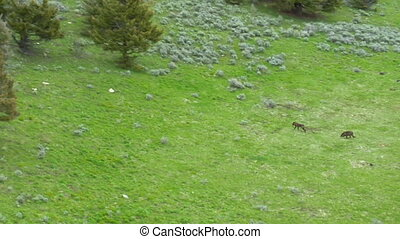 Two wolves run up hill near Paradise Valley Montana, aerial