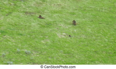Wolves in grassy meadow near Paradise Valley Montana, aerial