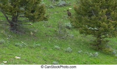 Wolves near Paradise Valley Montana, aerial shot into forest