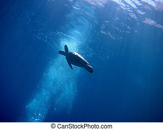 sea turtle emerge - sea turtle appears in the red sea
