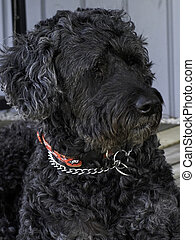 Portuguese Water Dog - portrait of a black/gray Portuguese...