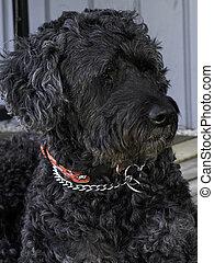 Portuguese Water Dog - portrait of a black/gray Portuguese...