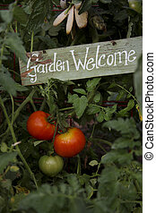 Tomatoes In The Garden - tomatoes in a garden with a Welcome...