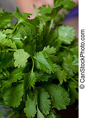 Cilantro closeup on dark table background