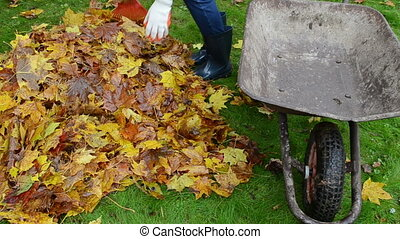 woman load barrow leaves - woman hand with raker in rubber...