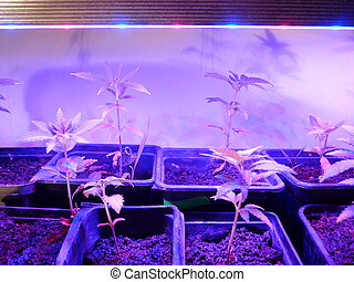 Cannabis plant on LED lights - very good jahs medicine...