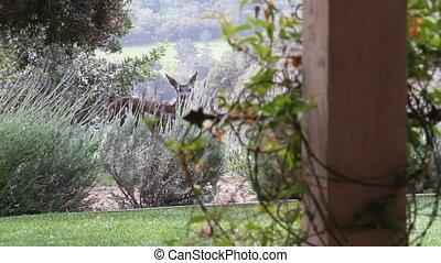 dear eats in bushes near house