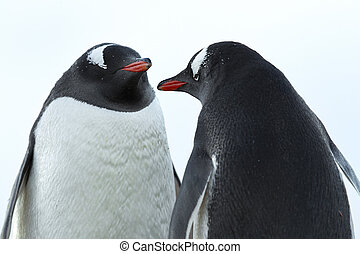 image of a two penguins - Closeup image of two penguin...
