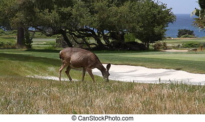 deer eating on golf course with ocean