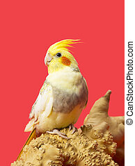 image of a yellow parrot - Yellow parrot sitting on wooden...