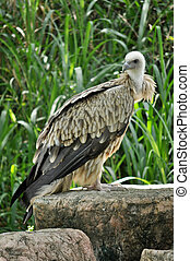 Himalayan Griffon Vulture - The Himalayan Griffon Vulture is...