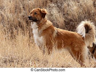 Alert Dog in Field - Alert working dog in field