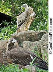 Himalayan Griffon Vulture and Cinereous Vulture - The...