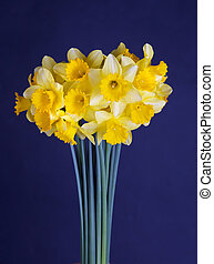 daffodils on dark blue - a bouquet of daffodils on a dark...