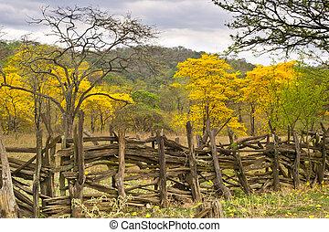 Guayacanes Bloom in Ecuador - LAPOTILLO LOJA ECUADOR ,Feb...