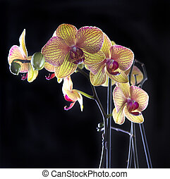 Orchid on black - Orchid flowers isolated on black...