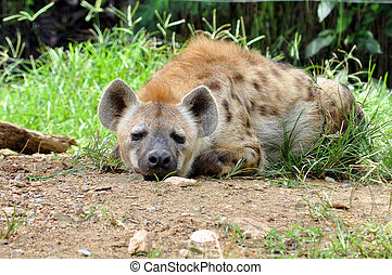 spotted hyena - The spotted hyena also known as laughing...