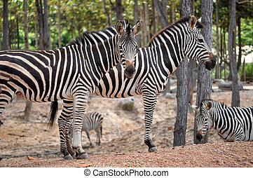zabras - The unique stripes of zebras make these among the...