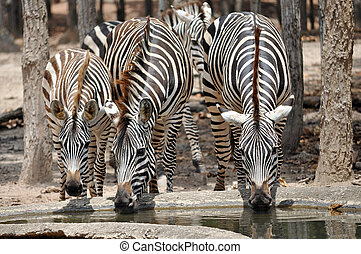 zebras - The unique stripes of zebras make these among the...