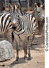 zebra - The unique stripes of zebras make these among the...