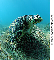 Hawksbill sea turtle resting on brain coral - Hawksbill sea...