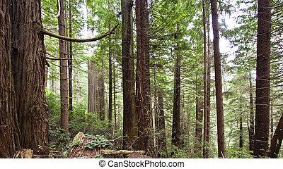 viejo, Crecimiento, bosque, vista