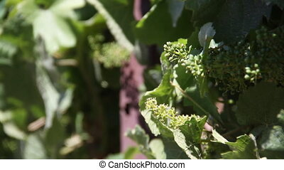 immature wine grapes