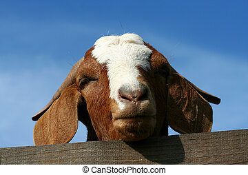 Billy goat with head over fence with blue sky
