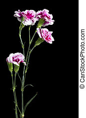 pink carnation standing on the dark - Portrait of pink...