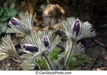 Pulsatilla flowers