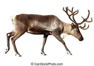 Reindeer. Isolated over white - Reindeer (Rangifer...