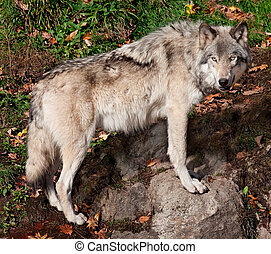 Gray Wolf Looking at the Camera - A gray wolf is standing...