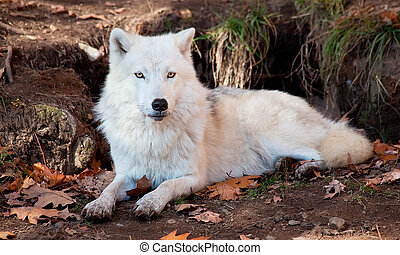 Arctic Wolf Looking at the Camera - Arctic wolf lying down...