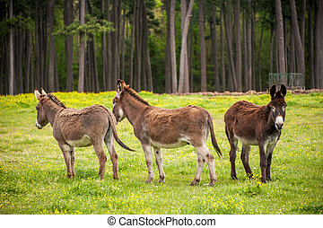 Outcast - Three donkeys in a field with one seemingly...