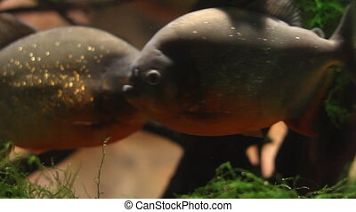 Piranhas swimming in a fish tank